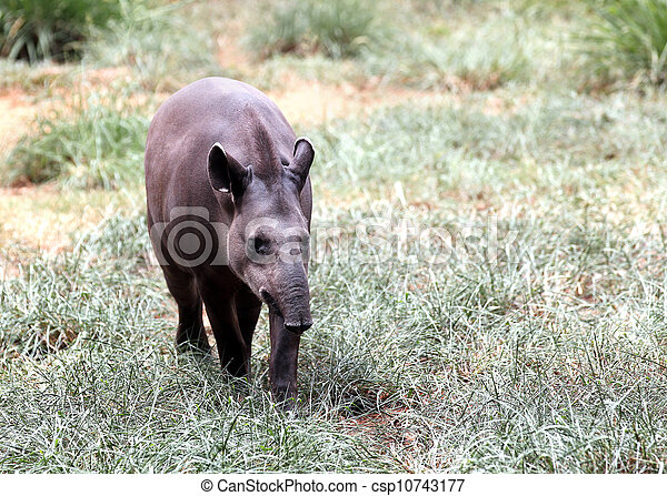 Baird's tapir walking through forest searching for food. This is the largest land mammal in central and south america and is a herbivore. These animals are in danger of extinction because of humans. - csp10743177