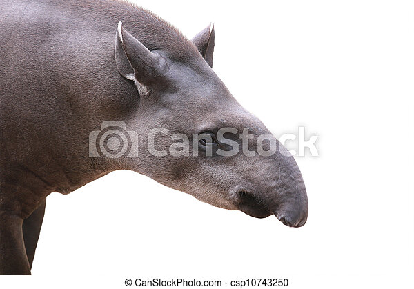 Baird's tapir face closeup shot isolated on white. This is the largest land mammal in central and south america and is a herbivore. These animals are in danger of extinction because of humans. - csp10743250