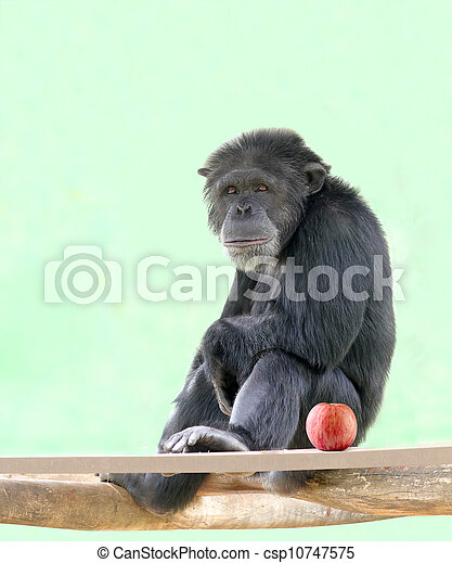 Smart intelligent chimpanzee sitting in relaxed mood and looking with an apple besides it. Chimps are very smart animals and closest relatives of humans and they are of African origin. - csp10747575