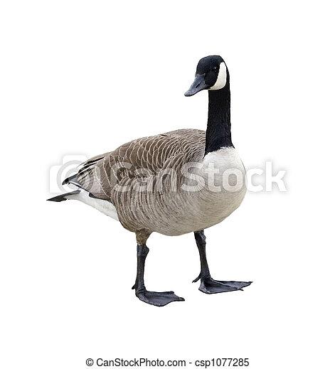 Canada Goose - csp1077285