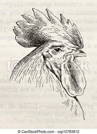 Dorking chicken ter - csp10783912