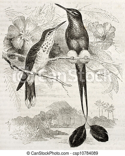 Booted Racket-tail - csp10784089