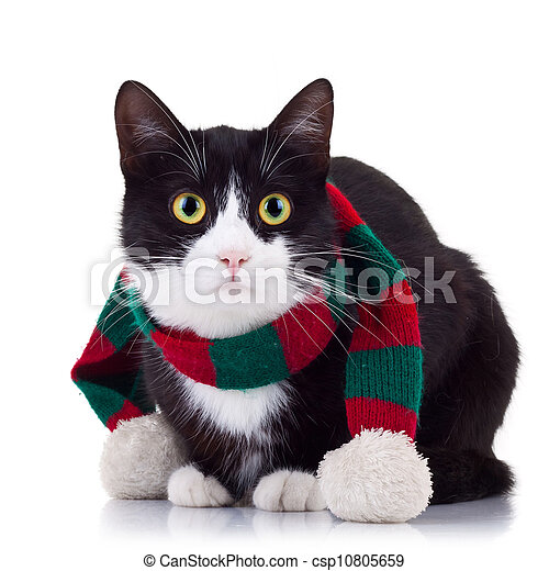 black and white cat wearing winter scarf - csp10805659