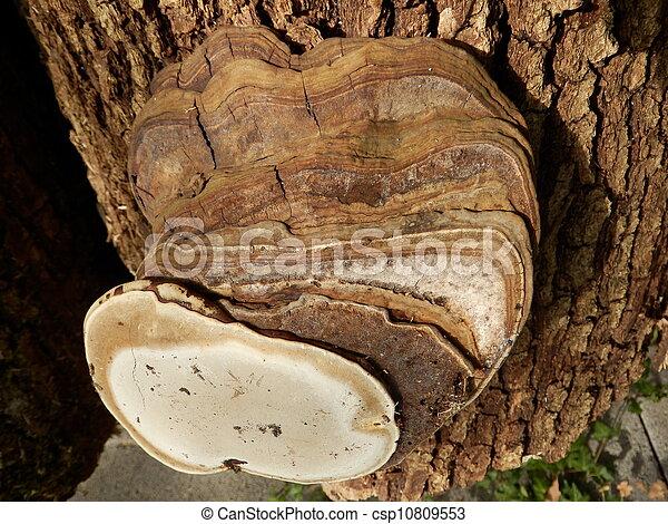 Phellinus igniarius mushroom - csp10809553