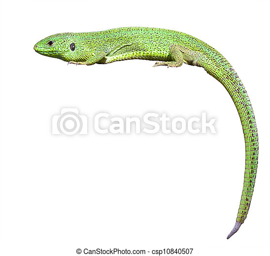 green lizard with a twisted tail - csp10840507