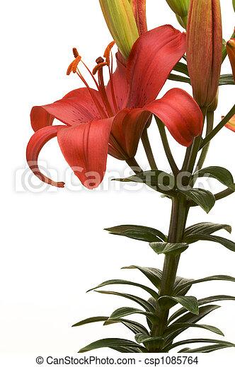 Brilliant Asiatic Lily - csp1085764