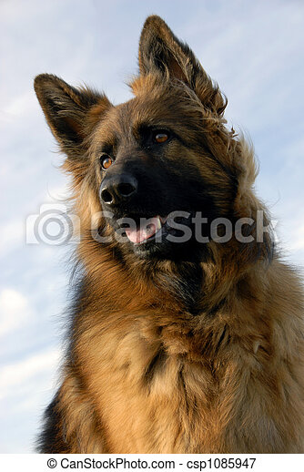 portrait of a purebred german shepherd - csp1085947