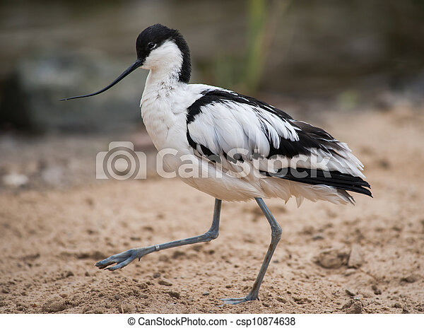 pied, avocet:, wader, marche, sable - csp10874638