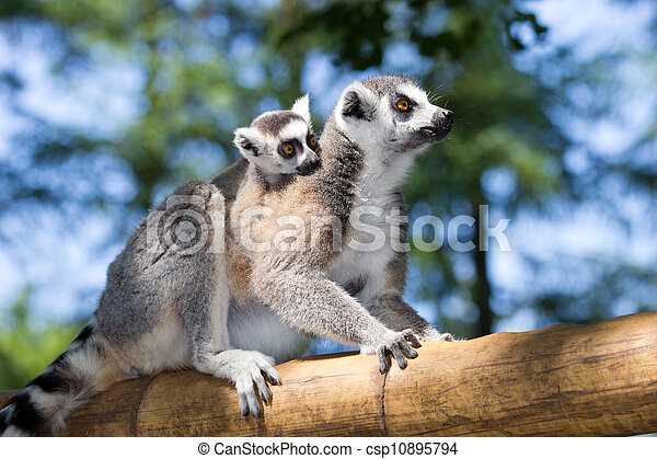 ring-tailed lemur  - csp10895794