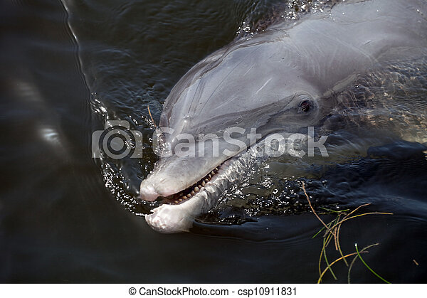 Cute Florida Dolphin - csp10911831