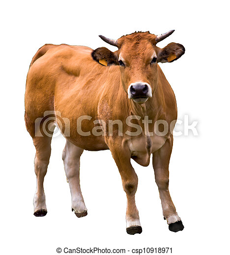 cow isolated on white - csp10918971
