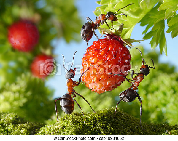 team of ants gathering strawberry, agriculture teamwork - csp10934652