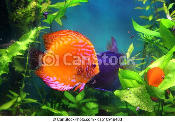 red discus fish in aquarium - csp10949483