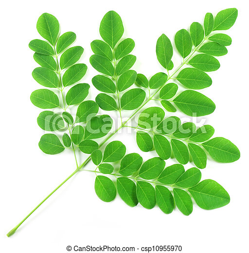 Edible moringa leaves - csp10955970