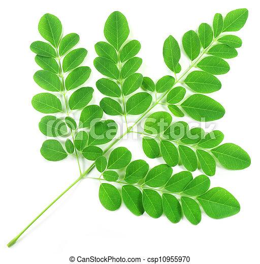 Edible moringa leaves - csp10955970