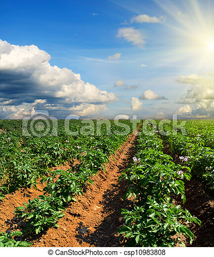 potato field on a sunset under blue sky - csp10983808