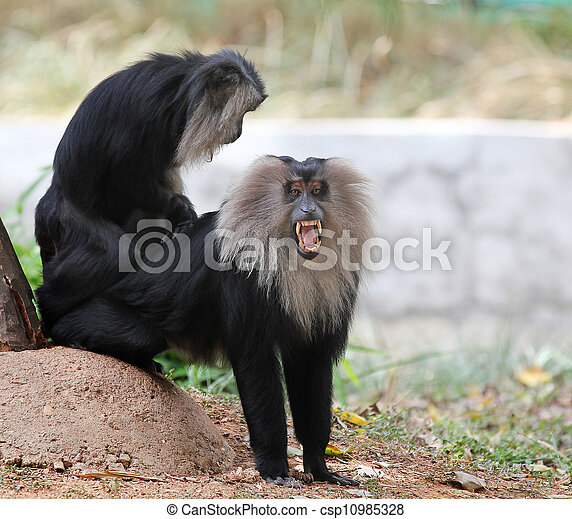 Endangered and threatened endemic monkey of india - lion-tailed  - csp10985328