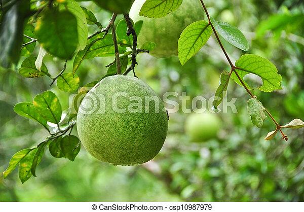 pomelo, owoc, drzewo - csp10987979
