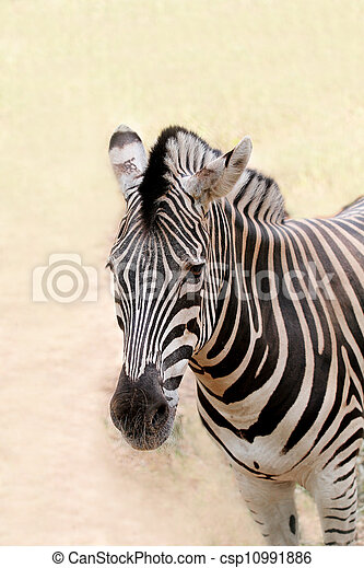 African wild animal zebra's face closeup showing distinctive stripes in black and white. This mammal is closely related to horse the stripe patterns are unique to each zebra - csp10991886