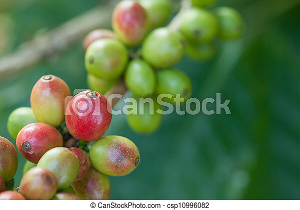 Coffee beans on plant - csp10996082