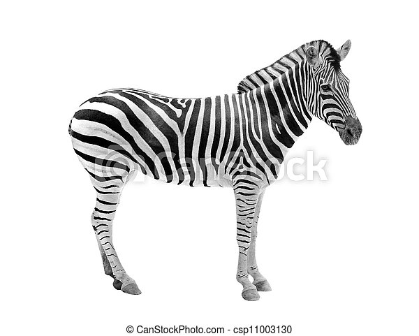 African wild animal zebra showing beautiful black & white stripes . This mammal is related to horse & the stripe patterns are unique to each zebra. The animal is isolated on white with clipping mask - csp11003130