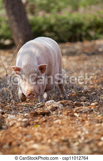 domestic pig mammal outdoor in summer - csp11012764