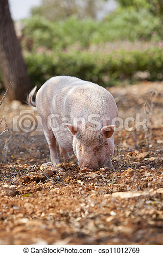 domestic pig mammal outdoor in summer  - csp11012769