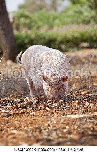 domestic pig mammal outdoor in summer  - csp11012769