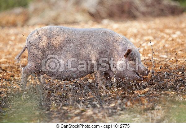 domestic pig mammal outdoor in summer  - csp11012775