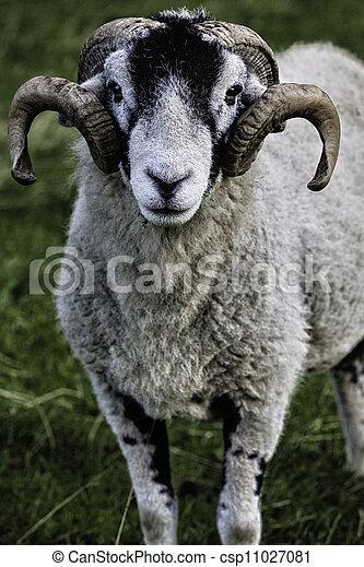 Herdwick adult ram - csp11027081