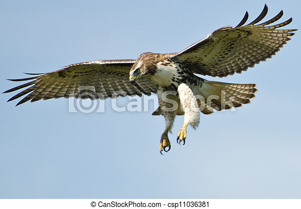 Immature Red Tailed Hawk Flying In a Blue Sky - csp11036381