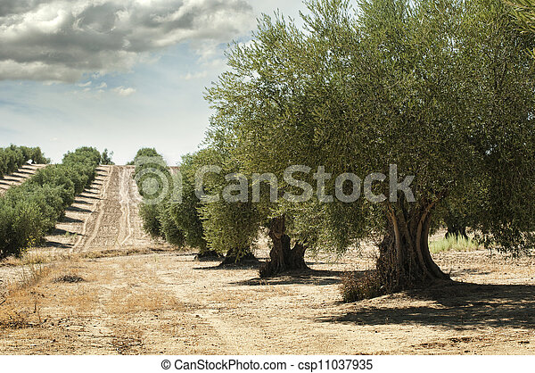 Olive trees - csp11037935