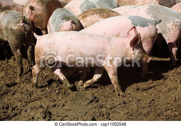 Stock Photo - Pig Farm