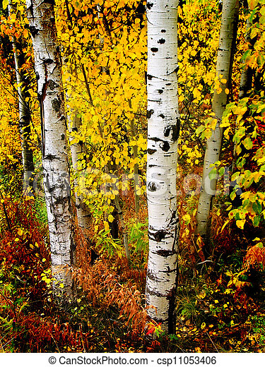 Fall Aspen Birch Leaves  - csp11053406