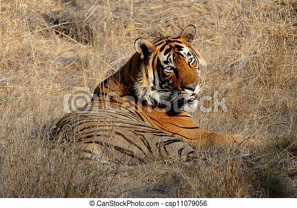 Tiger A Muscular Mammal  - csp11079056