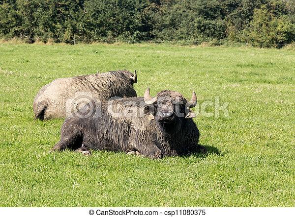 Immagini di due bufalo inglese fattoria prato bufalo - Soleggiato in inglese ...