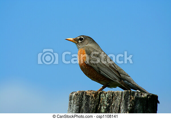 Redbrested robin on a fence post