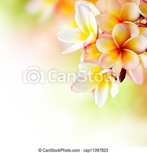 fiore,  frangipani, tropicale, disegno,  plumeria, terme, bordo - csp11097823