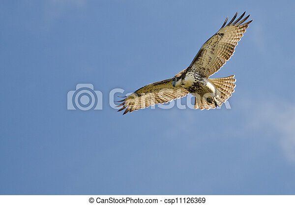 Immature Red Tailed Hawk Kiting In a Blue Sky - csp11126369