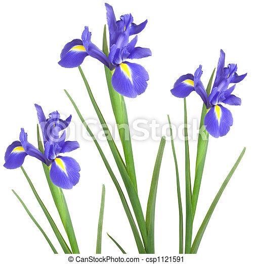 Iris Trio - csp1121591