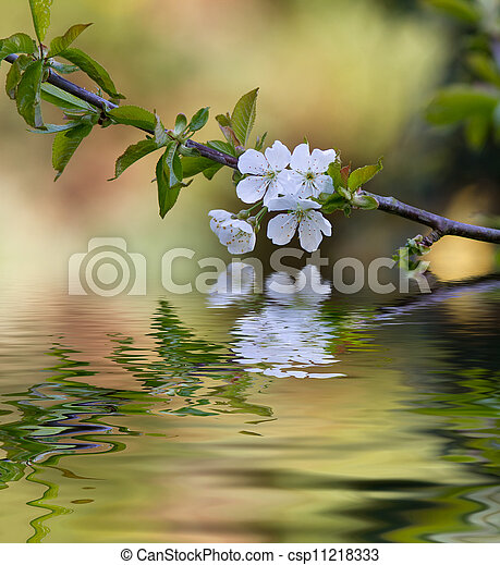 Plum tree blossom and reflection - csp11218333