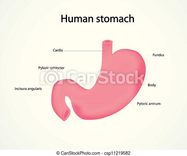 Ludzki, Żołądek - csp11219582