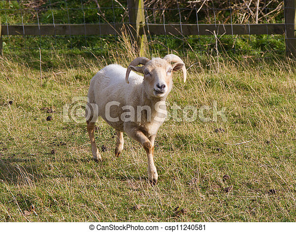 Portland, mouton,  a,  Rare, race - csp11240581