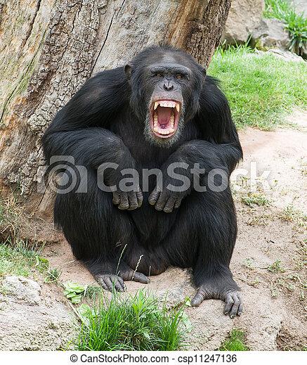 チンパンジーの画像 p1_26