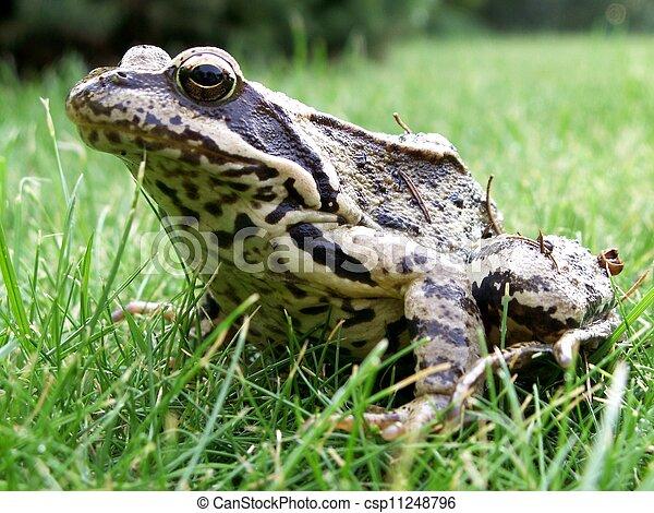 Grass frog-Rana temporaria - csp11248796