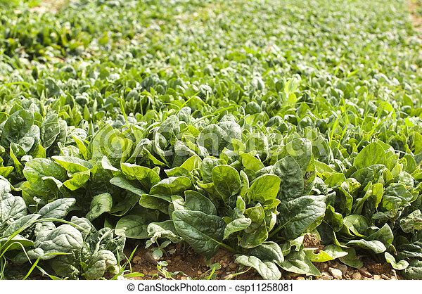 espinafre, plantação - csp11258081