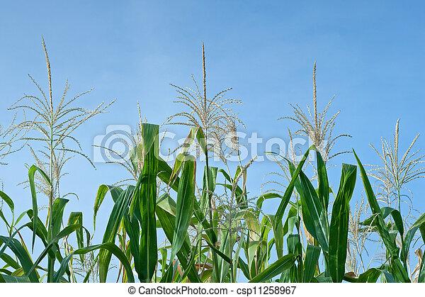 Corn field - csp11258967