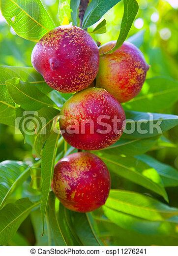 photo de couleur arbre rouges nectarine fruits nectarine csp11276241 recherchez des. Black Bedroom Furniture Sets. Home Design Ideas
