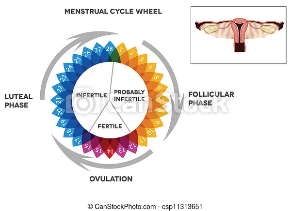 clipart vektor von menstrual kalender zyklus menstrual. Black Bedroom Furniture Sets. Home Design Ideas