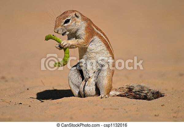 Ground squirrel - csp1132016